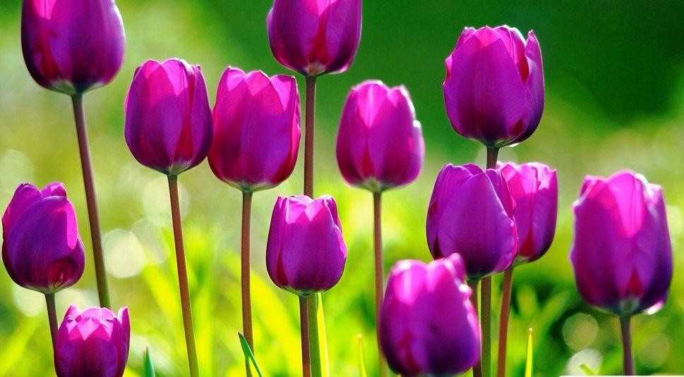 Mania das tulipas
